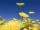 desert-dandelions