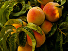 peaches-on-a-tree