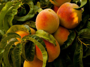 closeup of peaches on a tree